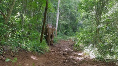 Elephant covered in mud walking down on a slippery path in a forest Stock Footage