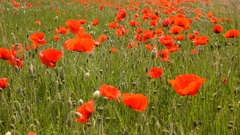 The boundless poppy field. Red poppy flowers breeze rustles. Stock Footage