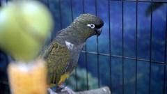 Burrowing parrot (Cyanoliseus patagonus) Stock Footage