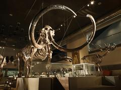 Large mammoth skeleton in museum with backlight Stock Photos