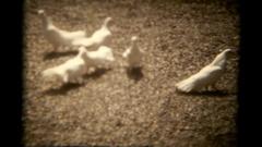 Vie pigeons white feeding Stock Footage