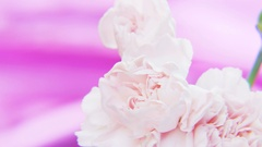 White Roses Rotating on a Deep Purple Background Stock Footage