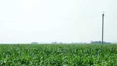 Cornfield. Large field of young corn. Countryside landscape. Rural agriculture Stock Footage
