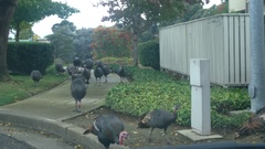 Flock of Turkeys Stock Footage