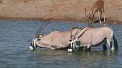 Gemsbok antelopes (Oryx gazella) drinking water, Etosha National Park, Namibia Stock Footage