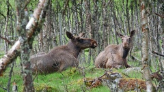 Moose couple laying on ground in forest watching alerted Stock Footage