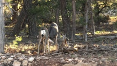 Two mule deer sparing during the rut Stock Footage