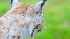 Lynx portrait of head licking tongue extreme slow motion Stock Footage