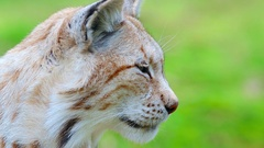 Lynx portrait head view yawning super slow motion Stock Footage