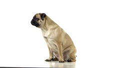 Pug sitting and begging for food and licked. White background Stock Footage