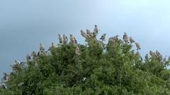 Wattled Starling (Creatophora cinerea) flock in top of tree Stock Footage