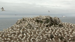 Northern Gannet (Morus bassanus) colony, breeding on cliff overlooking the Ocean Stock Footage