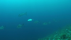 Giant Trevallies on a coral reef Stock Footage