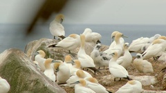 Northern Gannetcolony, breeding on cliff, overlooking the Ocean,lock shot Stock Footage