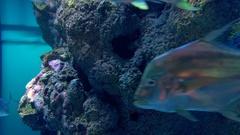 African pompano fish in aquarium. Marine life Stock Footage