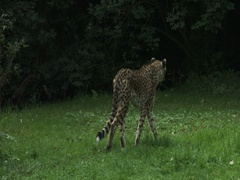 A Cheetah  (Acinonyx jubatus) at the edge of the shady forest. Stock Footage