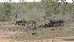 Rhinos walking searching for food in Kruger National Park In South Africa Stock Footage