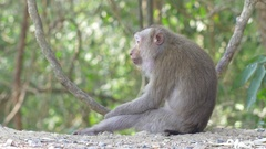 Wild rhesus monkey in natural setting are chewing and looking around Stock Footage