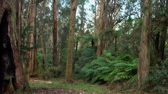 Dandenong Ranges Park: Forest Panning Stock Footage