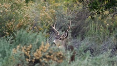 Mule Deer Buck grazing in the bushes in Zion National Park Stock Footage