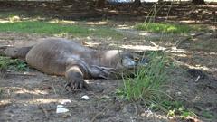 4k Komodo dragon close up resting under tree shadow on sandy ground Stock Footage