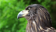 Sea eagle head Stock Footage