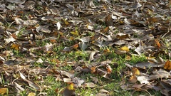 Raking autumn leaves Stock Footage