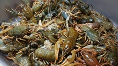 Live European river crayfish sold at the fish market. Stock Footage