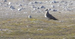 Arctic Skua Stock Footage