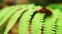 Fern leaf close-up. Extremely small depth of field. Shooting handheld Stock Footage