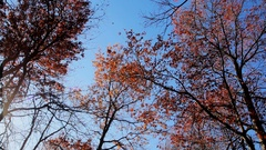 Beautiful trees set against the blue sky. Sunset at the autumn forest Stock Footage
