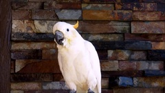 A white parrot, Sulphur Crested Cockatoo,  making big sound Stock Footage