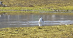 Eider Duck in the lake Stock Footage