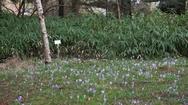 Purple crocus flowers, spring time at  botanical gardens, Berlin, Germany Stock Footage