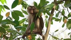 Wild rhesus monkey in natural setting Stock Footage