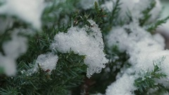 Common Yew Taxus Cuspidata Stock Footage