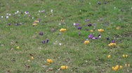Purple, yellow, white crocus flowers, spring time in botanical gardens, Berlin Stock Footage