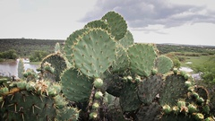 "Botanical garden ""El charco del Ingenio"", prickly pears in first plane. Stock Footage"