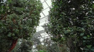 Trees inside huge greenhouse, pan left, Berlin botanical gardens, Germany Stock Footage