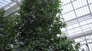Trees inside huge greenhouse, pan right, Berlin botanical gardens, Germany Stock Footage