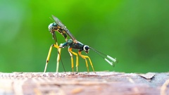 Macro shot on parasitic wasp insect Stock Footage