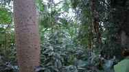 Lush tropical trees grow in botanical gardens greenhouse, Berlin, Germany Stock Footage
