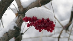 Bunch Of Red Viburnum Berries Covered With Snow Slowmotion Stock Footage
