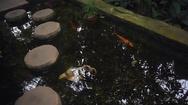 Large fish swim in shallow pond, botanical gardens, Berlin, Germany Stock Footage