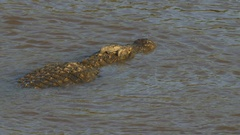 Rear overhead view of a large crocodile swimming in the mara river Stock Footage