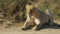 Close up of a lion cub resting in masai mara game reserve Stock Footage