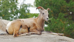 Rocky mountain bighorn sheep. He sits on the rocky ground on a background of Stock Footage
