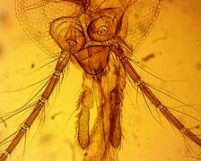 Common house mosquito (Culex pipiens) female mouth apparatus Kuvituskuvat