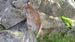 Lynx stretch body yawning  walking away in boulder scenery Stock Footage