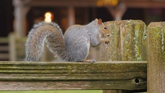 The typical American squirrel sitting on a wooden fence eating a nut Stock Footage